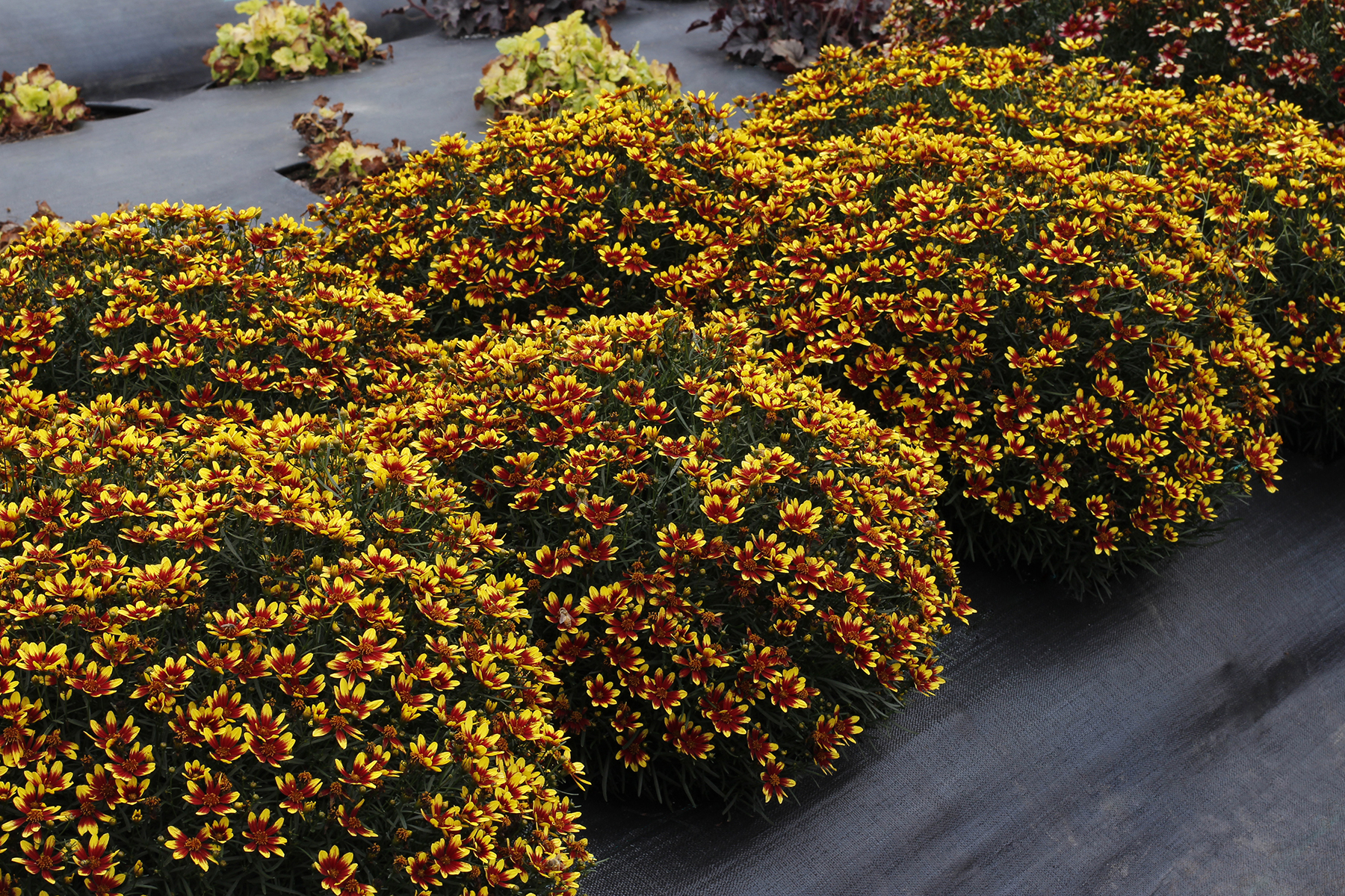 Coreopsis-Honeybunch-Red-and-Gold-1.jpg