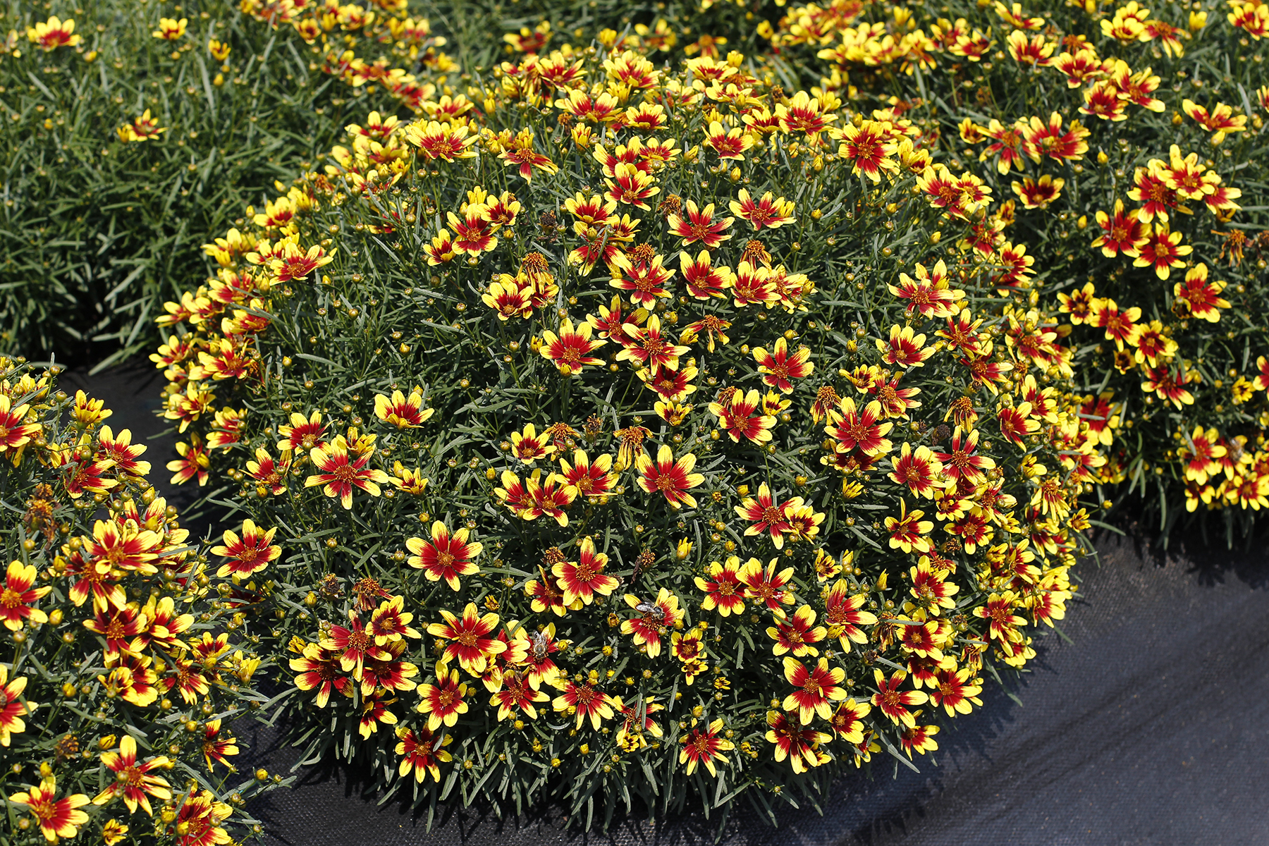 Coreopsis-Honeybunch-Red-and-Gold-2.jpg