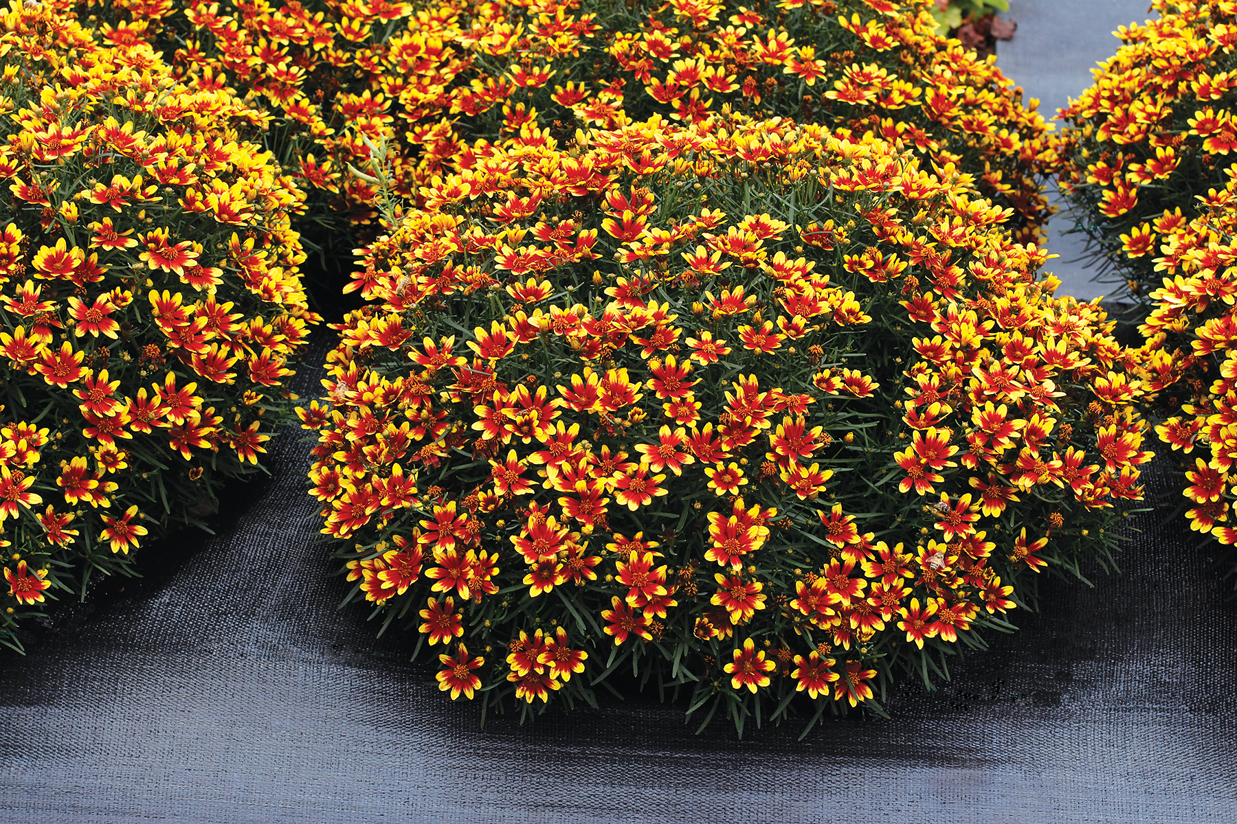 Coreopsis-Honeybunch-Red-and-Gold-3.jpg
