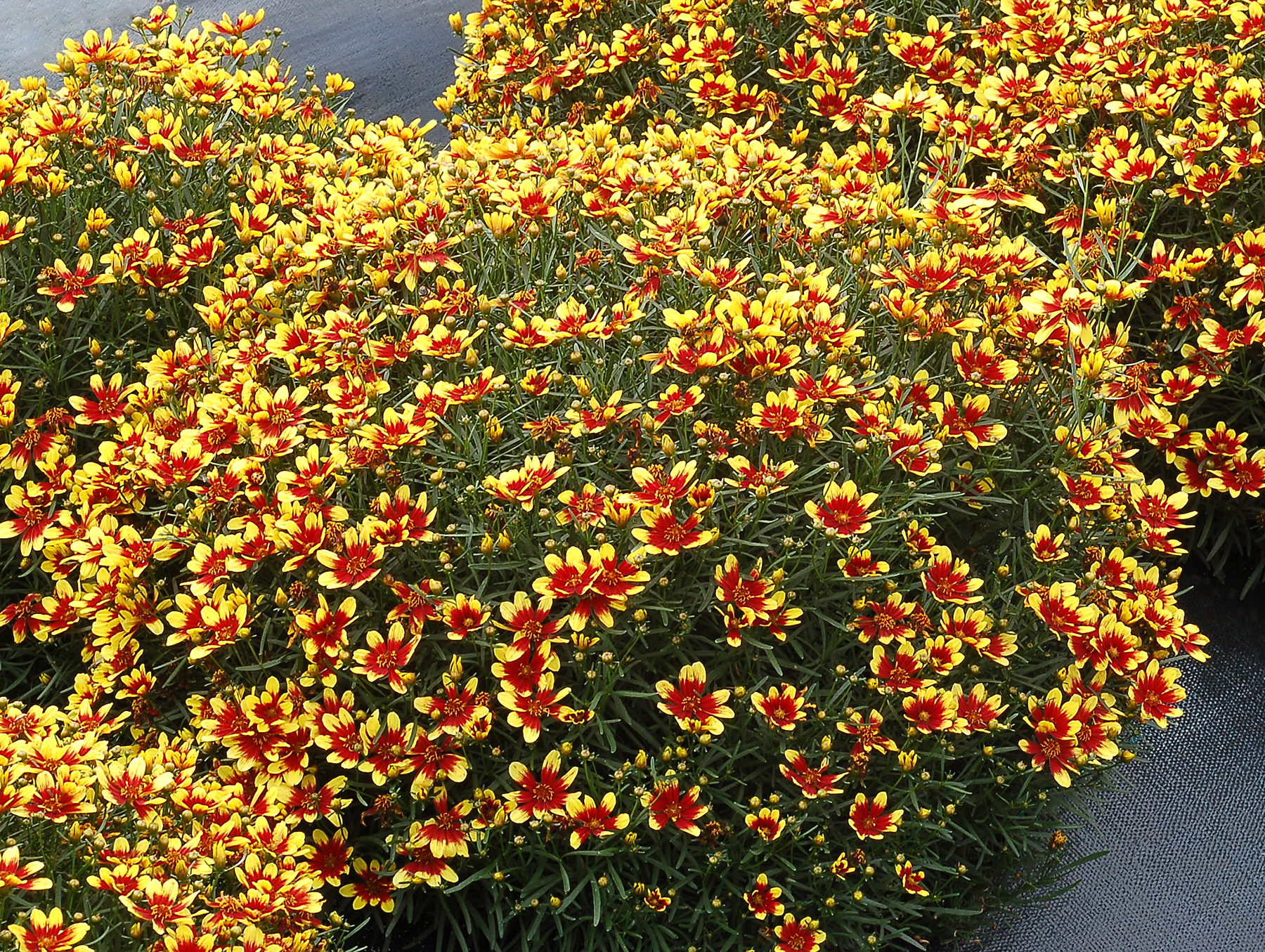 Coreopsis-Honeybunch-Red-and-Gold-4.jpg