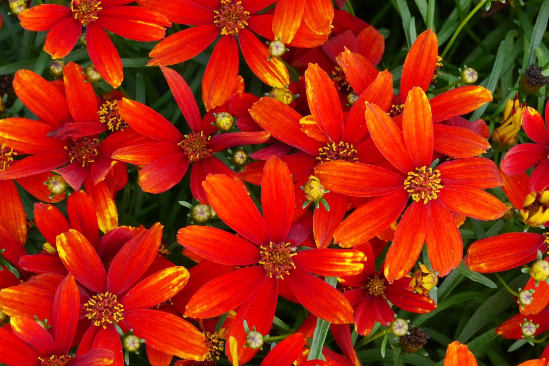 Coreopsis-Ladybird-2.jpg
