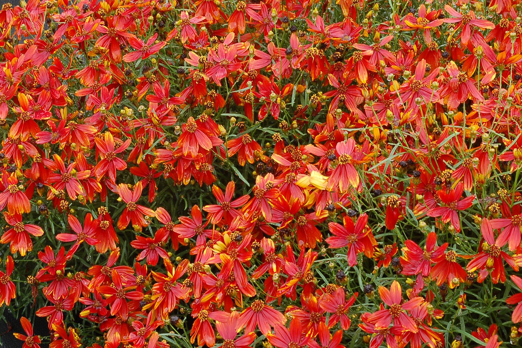 Coreopsis-Ladybird-1.jpg
