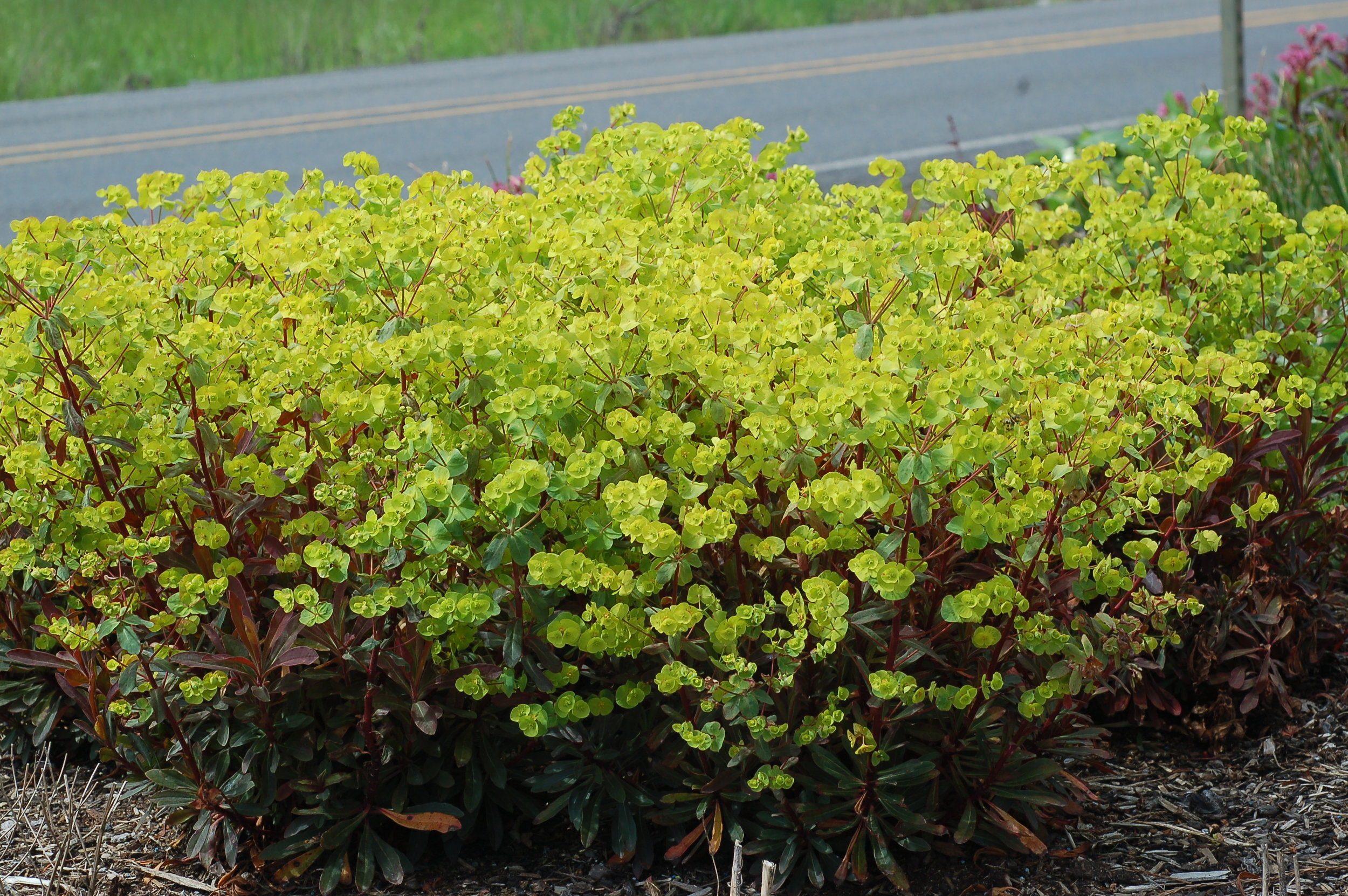 Euphorbia Golden Glory 5-4-17.jpg