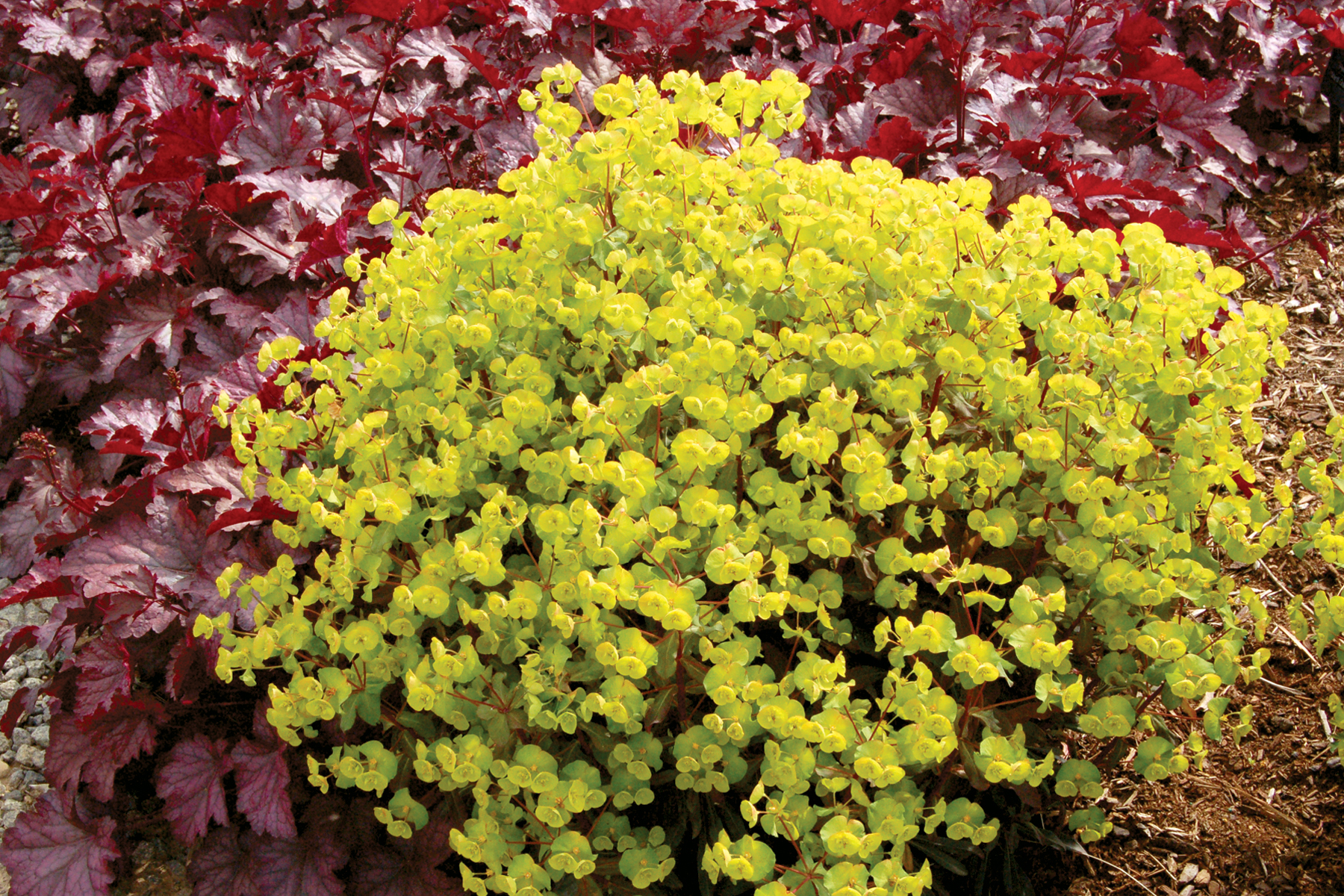 Euphorbia-Golden-Glory-2.jpg