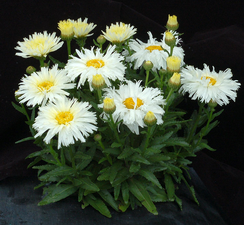 Leucanthemum-Belgian-Lace-4.jpg