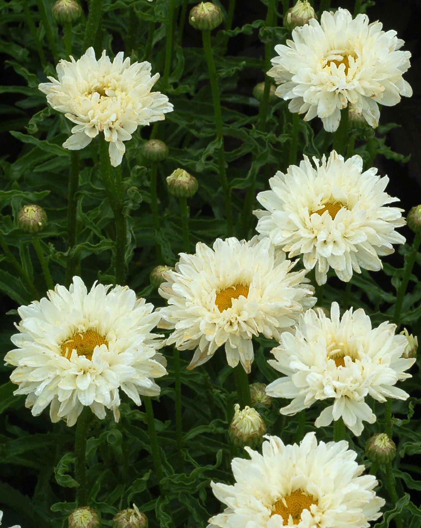 Leucanthemum-Victorian-Secret-2.jpg
