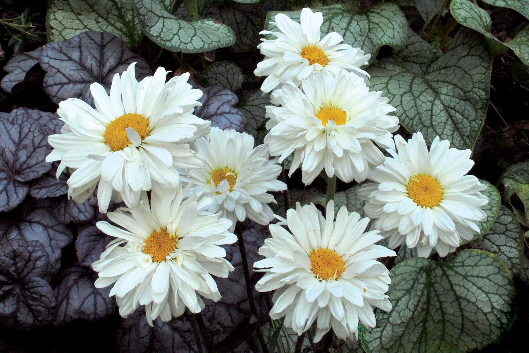 Leucanthemum-Victorian-Secret-1.jpg