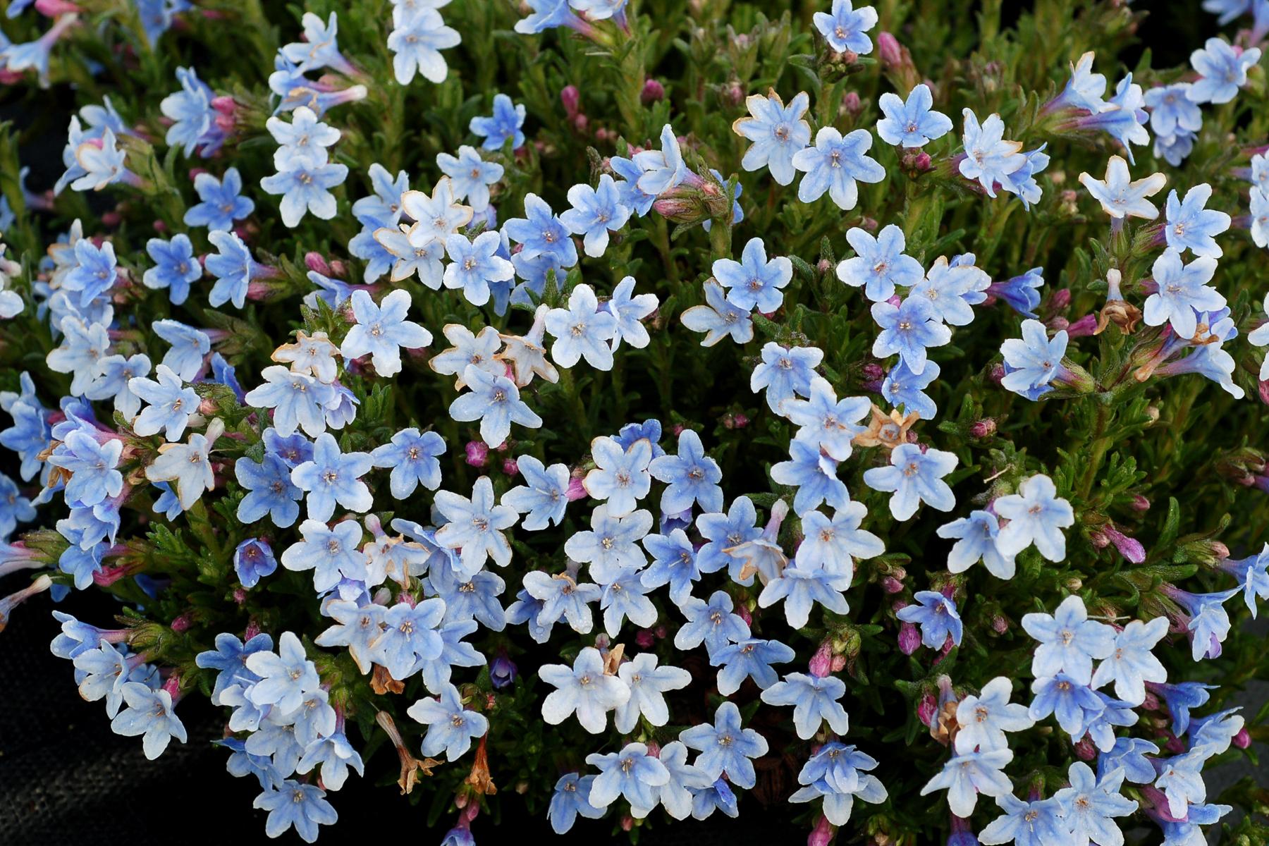Lithodora-Crystal-Blue-1.jpg
