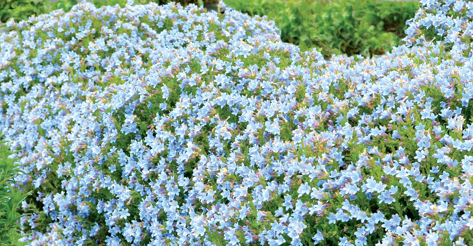 Lithodora-Crystal-Blue-2.jpg