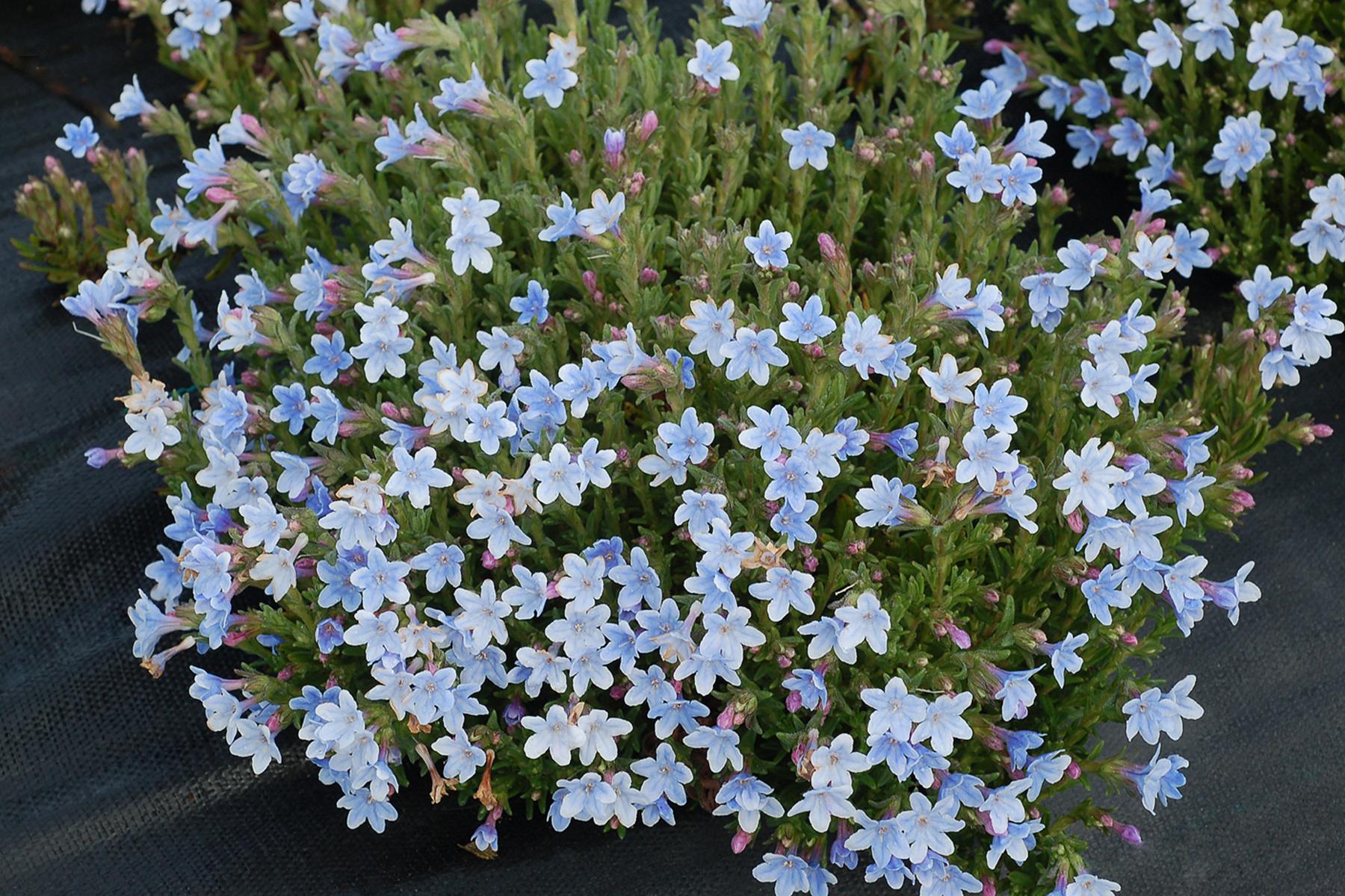 Lithodora-Crystal-Blue-3.jpg