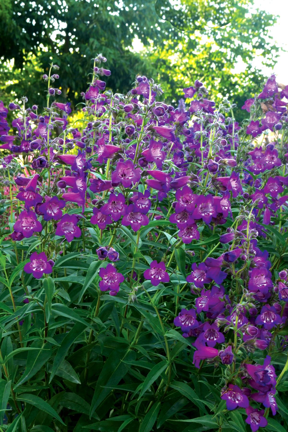 Penstemon-Cha-Cha-Purple-2.jpg