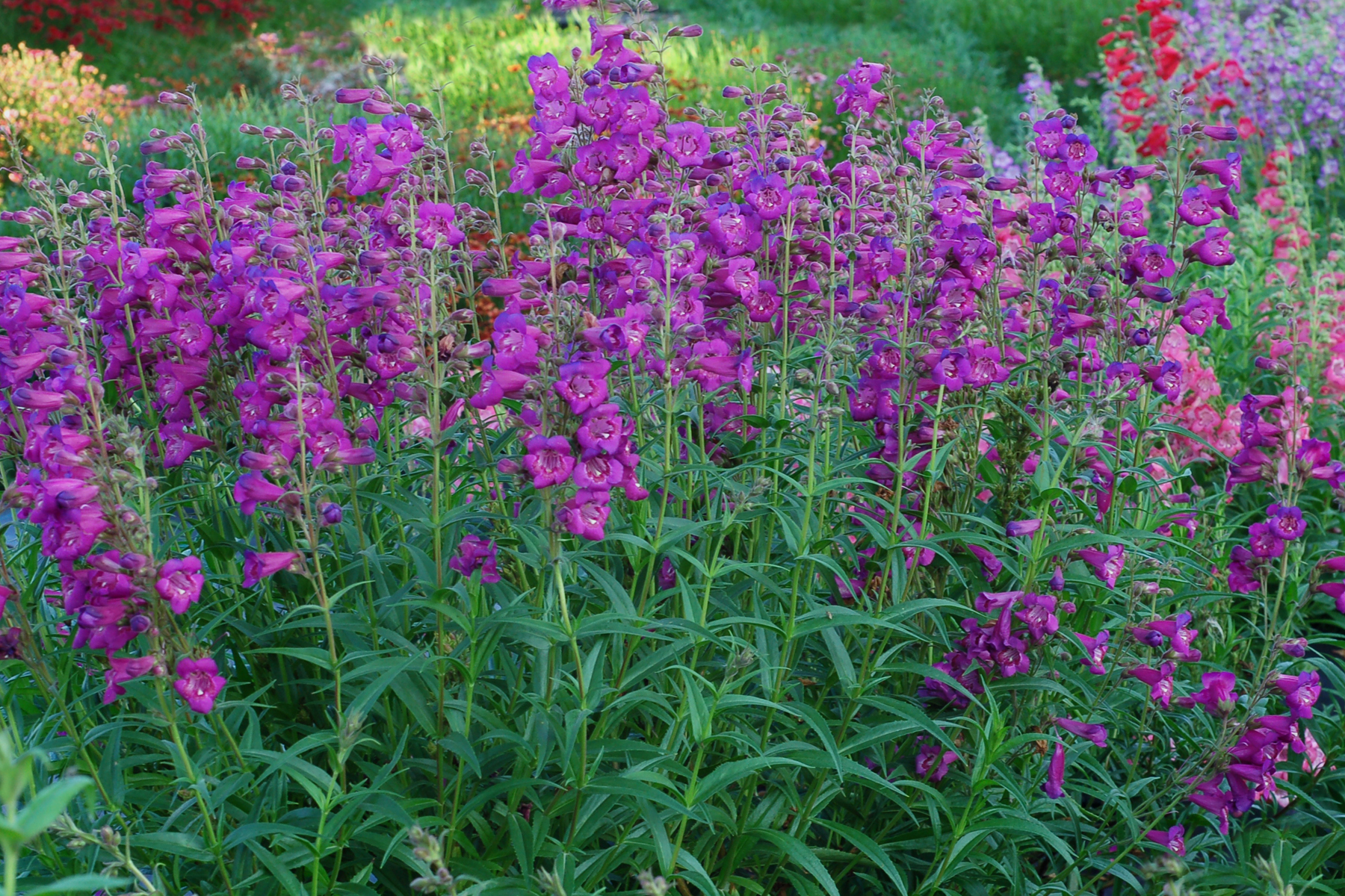Penstemon-Cha-Cha-Purple-1.jpg