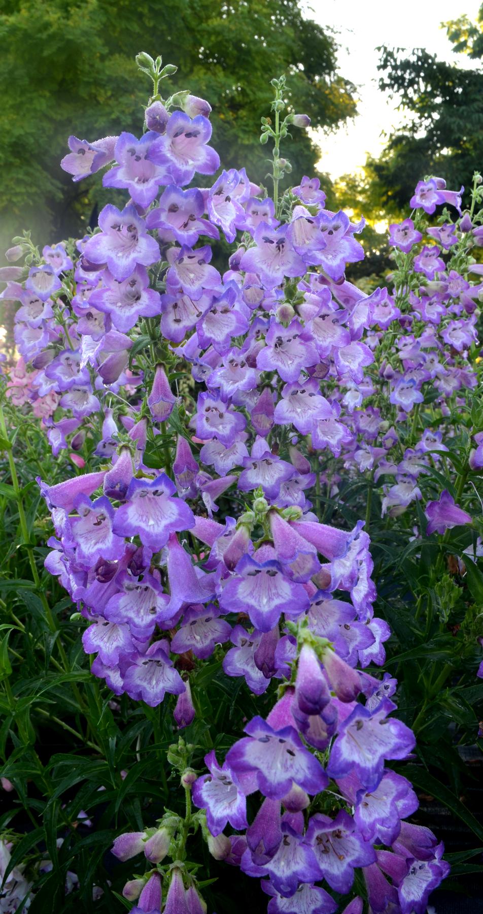 Penstemon-Cha-Cha-Lavender-2.jpg