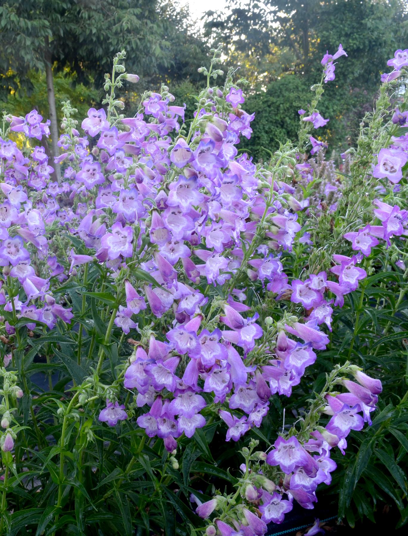 Penstemon-Cha-Cha-Lavender-1.jpg