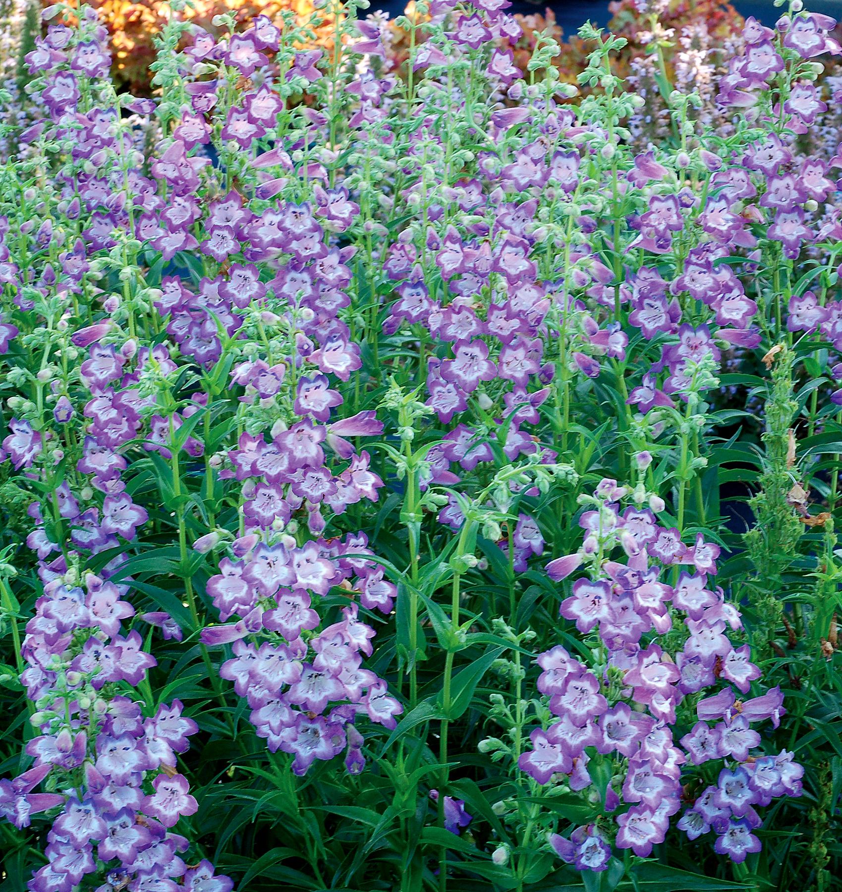 Penstemon-Cha-Cha-Lavender-4.jpg