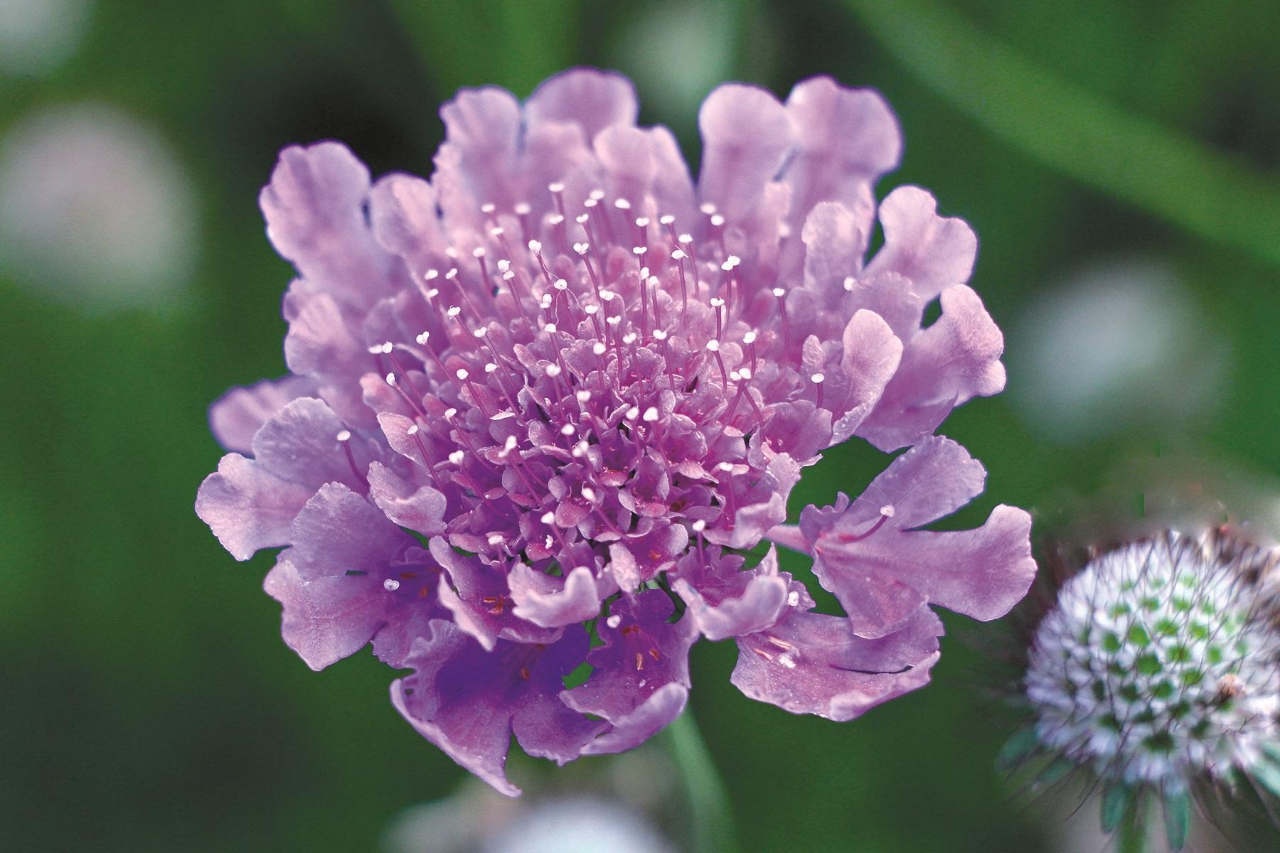 Scabiosa__Vivid_Violet__-_Flower[1].jpg