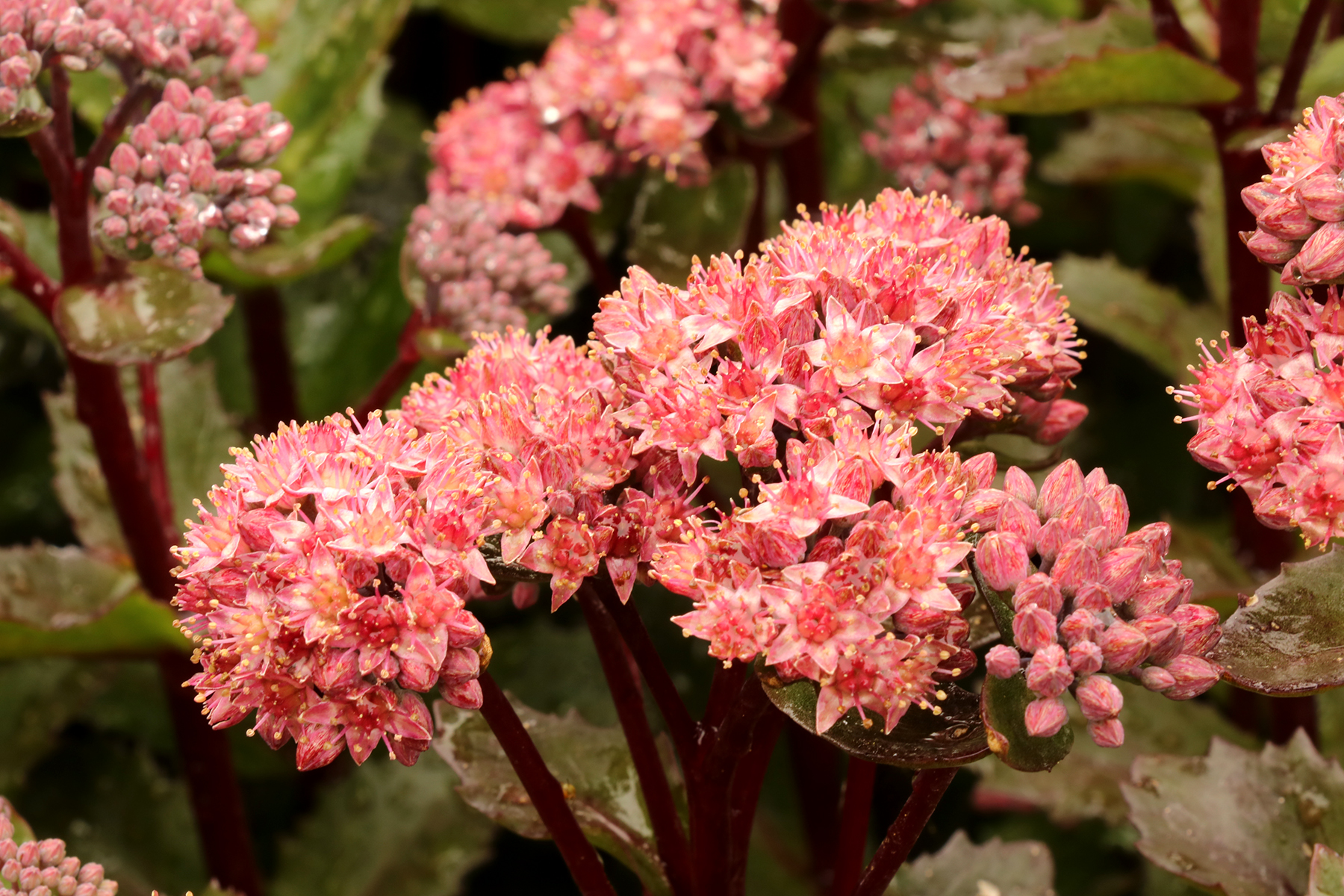 Sedum-Double-Martini-8.jpg