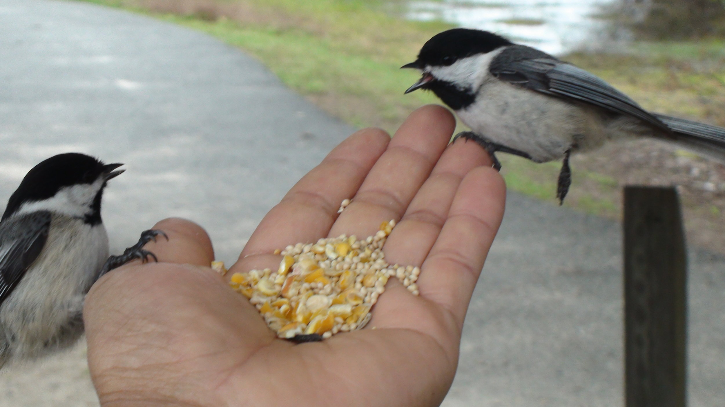 Feeding birds at Beech Forest