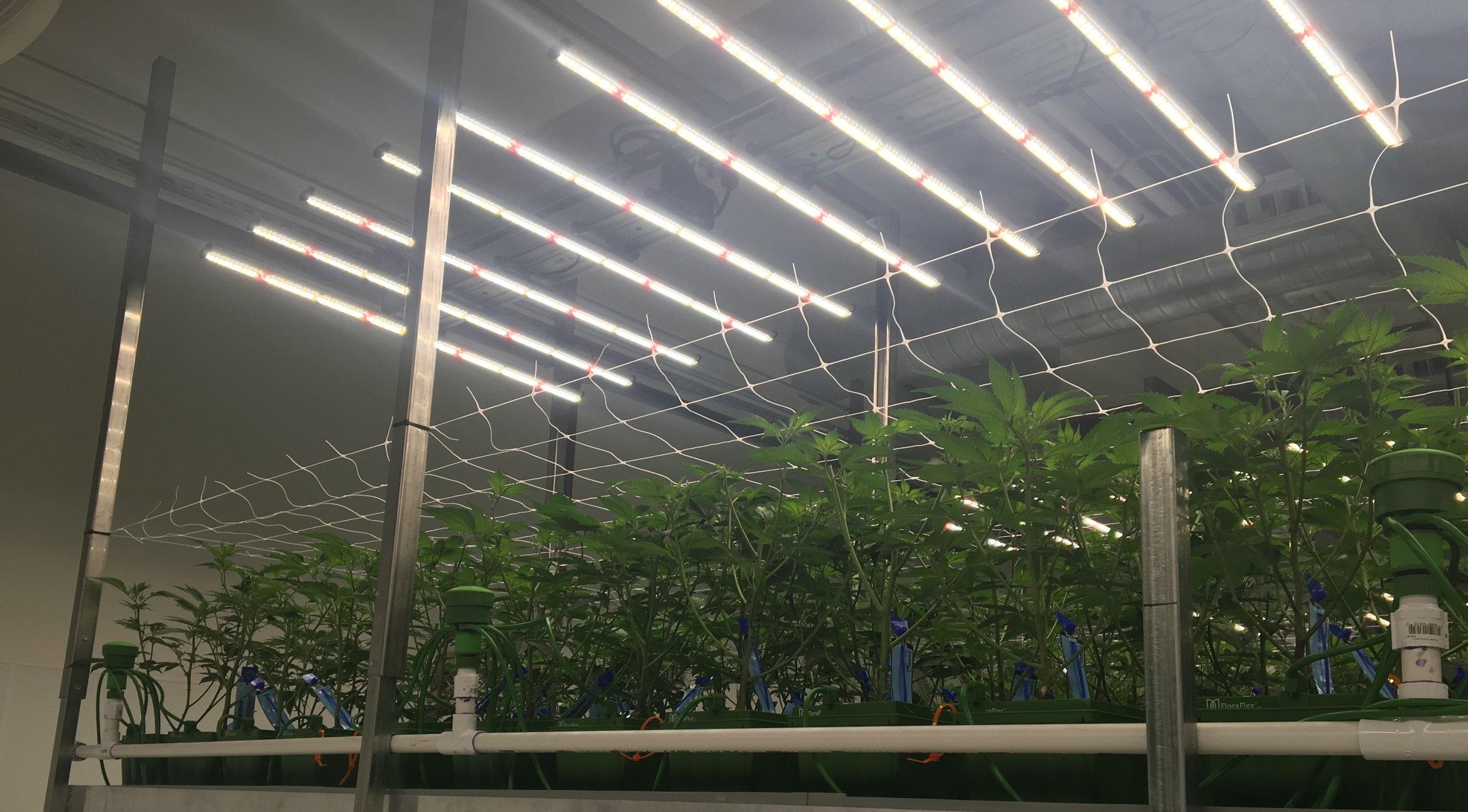led cannabis lights
