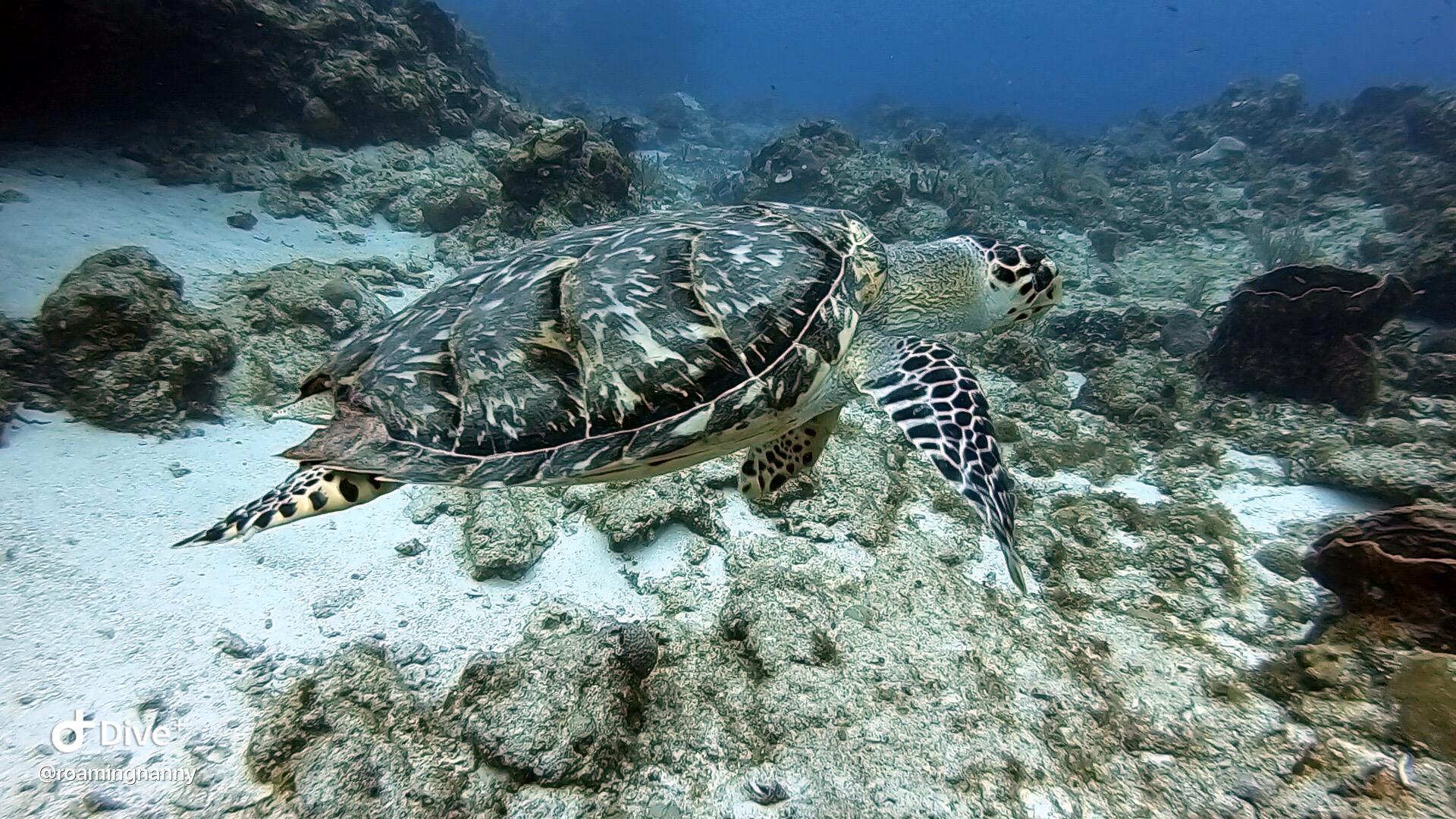 woman scuba diver and turtle