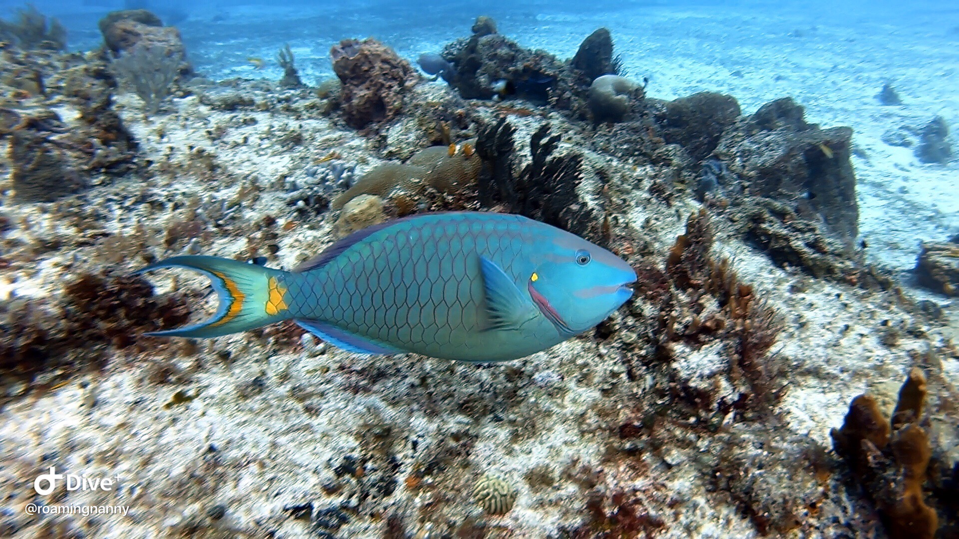 Parrot Fish - Cozumel Mexico