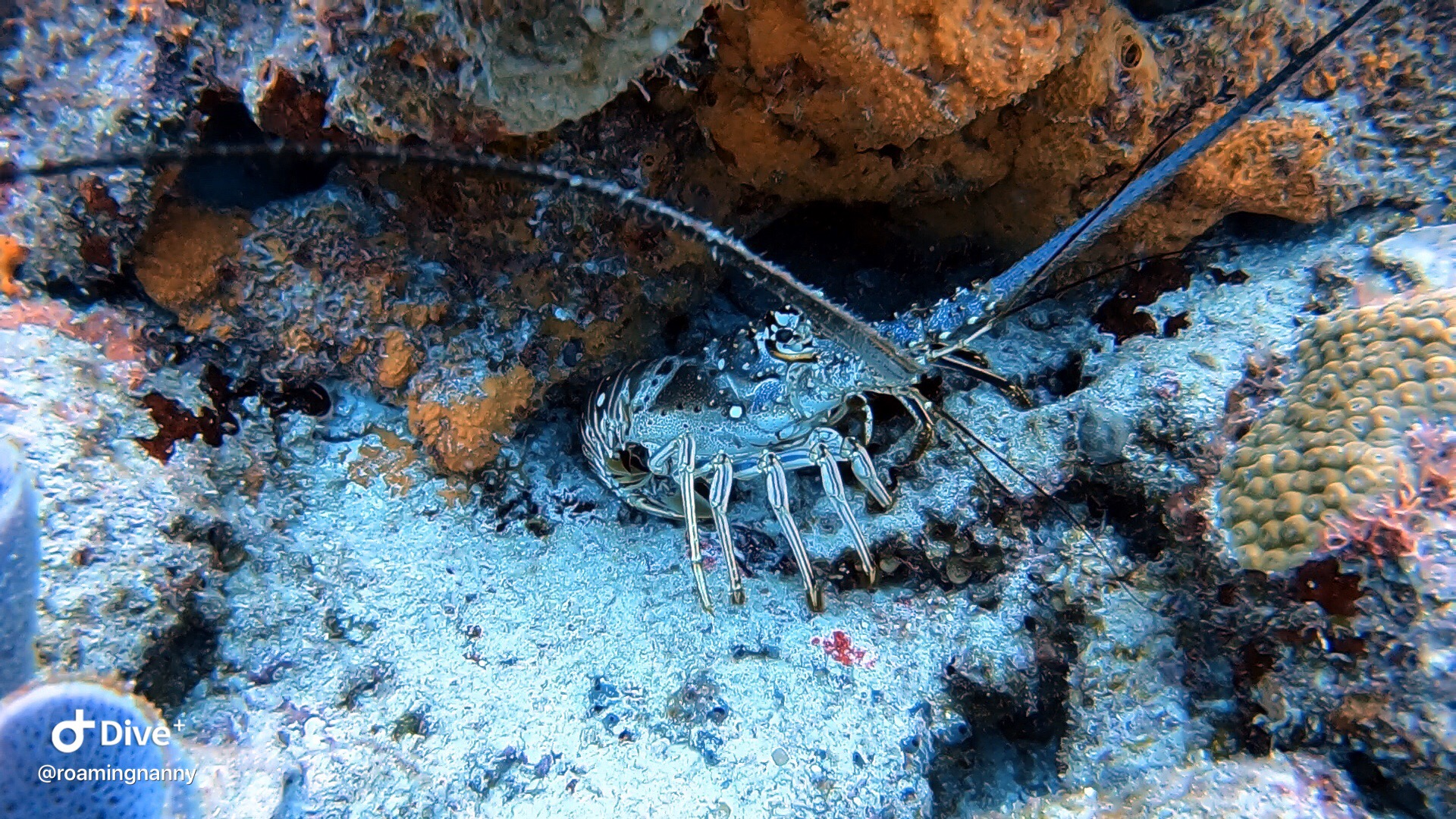 Lobster seen while scuba diving in Cozumel