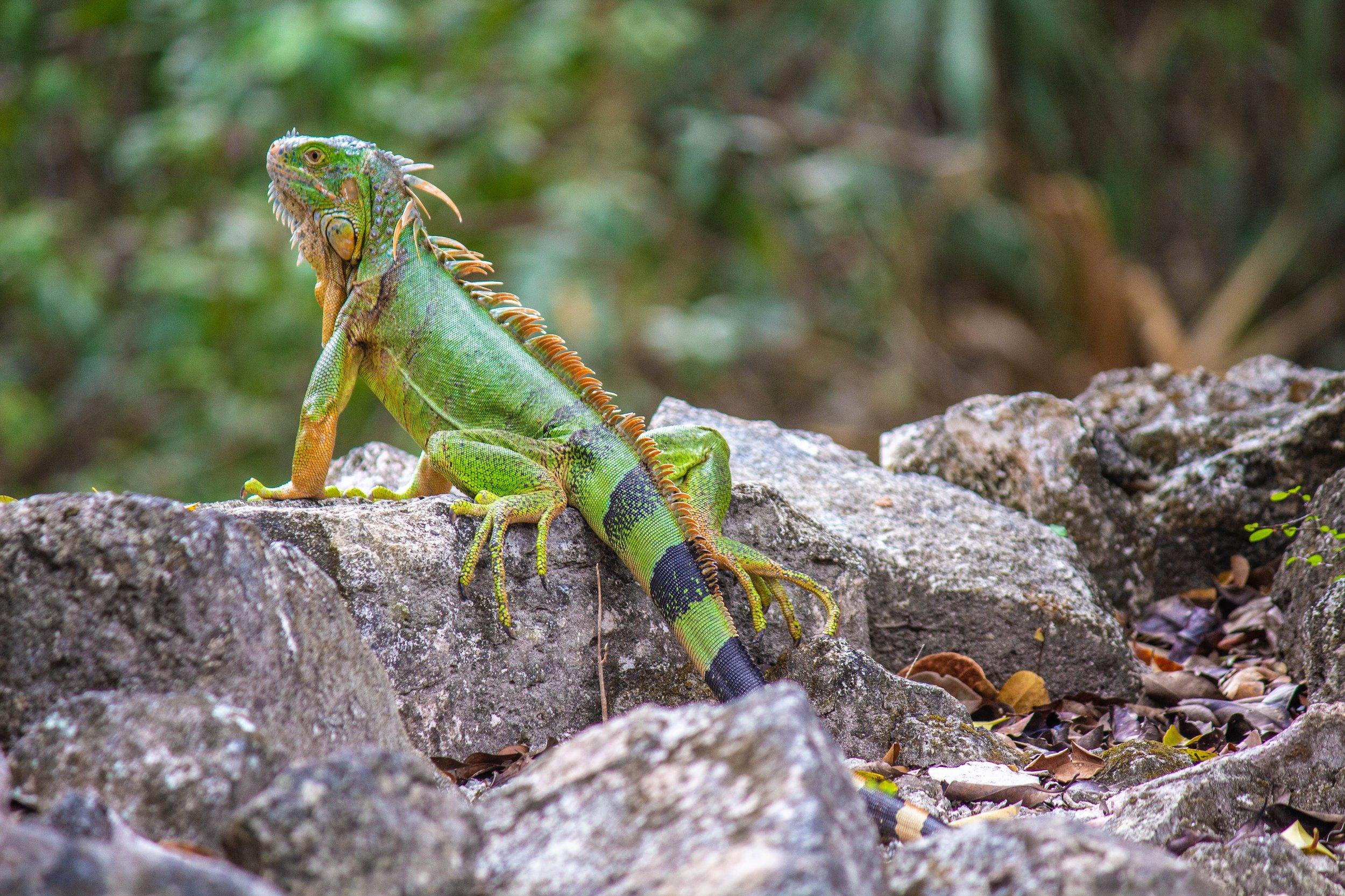 Iguana at San Gervasio in Cozumel, Mexico