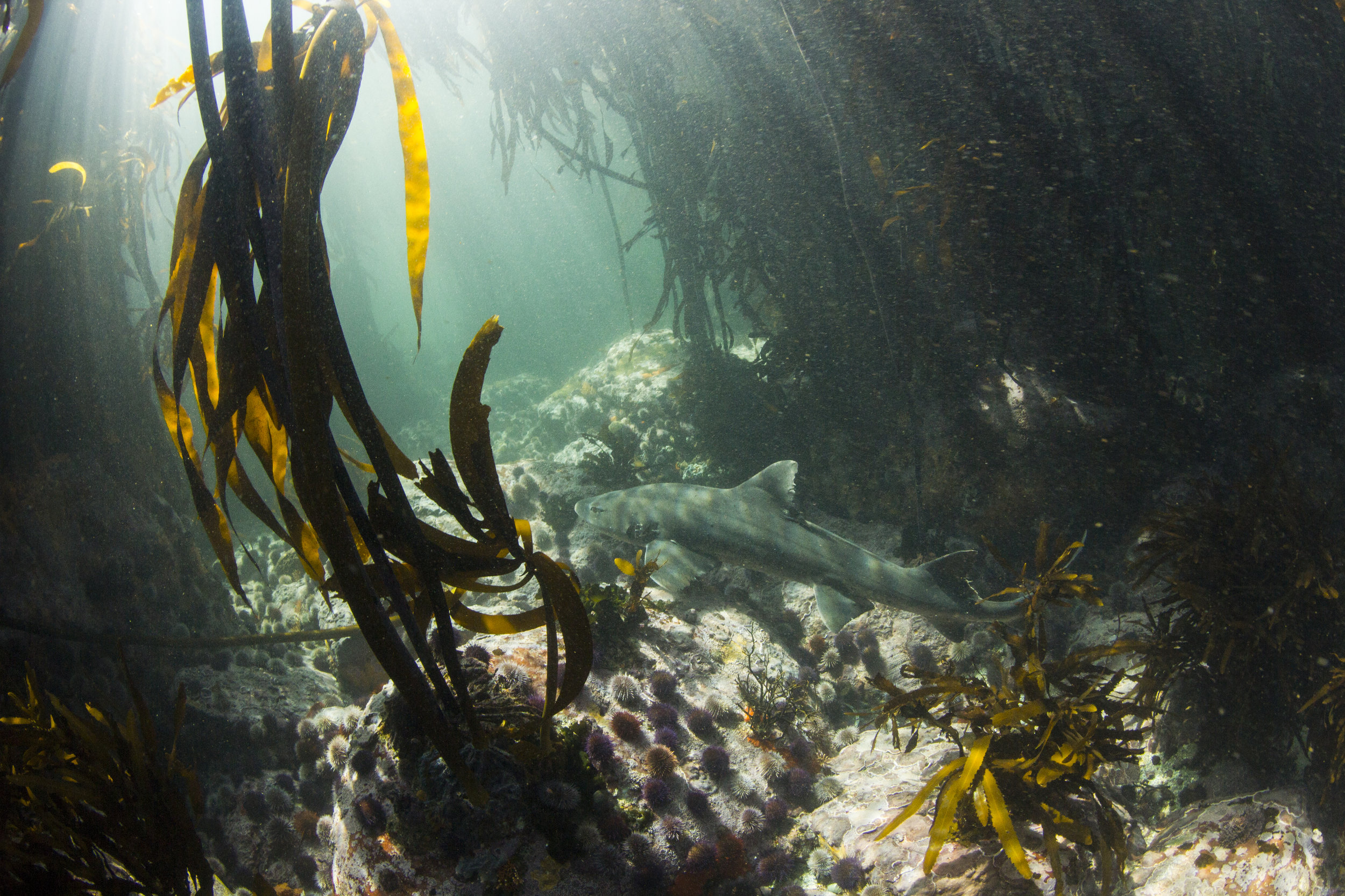 diving in south africa - kelp forest