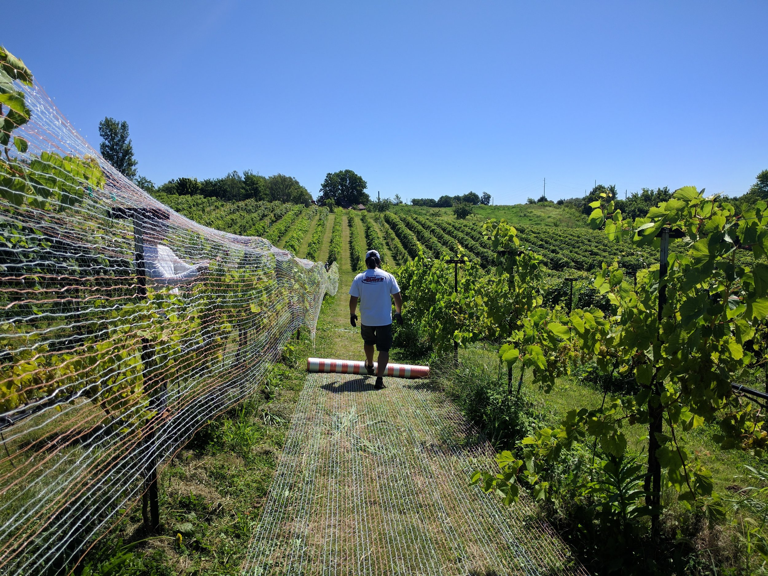 A person walking between two rows of vines while putting netting over the vine canopy