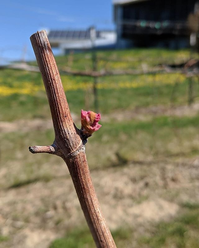 And just like that, we've officially entered the 2019 growing season! Budbreak has arrived at TerraVox and is present on Lomanto, Hidalgo, and Stark Star today. ⠀⠀⠀⠀⠀⠀⠀⠀⠀ //#vineyard #budbreak #pastoral #nature #winery #tvmunson #grapes #vines #grapevines #🍇 #🍷 #wine #slowfood #instawine #winestagram #igkansascity #instakc #howwedokc #mowine #kcmo #kansascity #missouri #americanwinerevolution #americanheritagegrapes #voiceoftheland #terravox #tastehistory