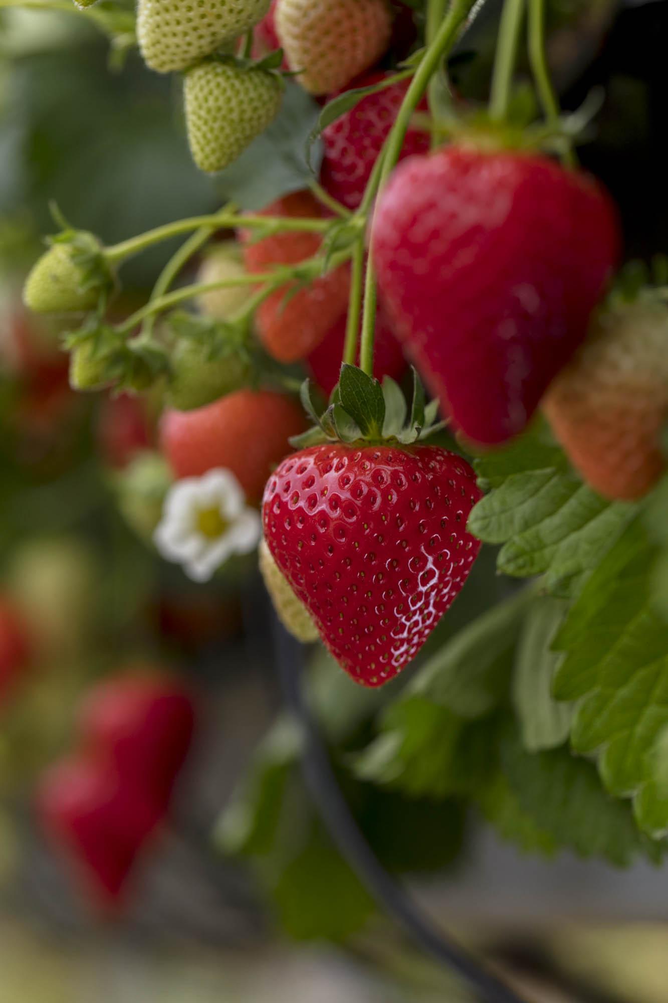 Strawberries_071_4581.jpg