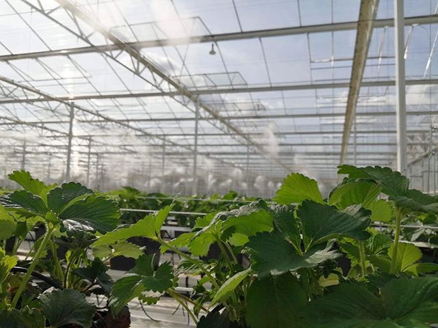 This cooling mist on a hot day provides the perfect growing atmosphere for our strawberry plants 👌 These plants will be producing fruit in our glasshouses well in to the Autumn months! 🌱+💧+🌞 = 🍓🍓🍓 . . . . . #hughlowefarms #farmers #growers #farm#agriculture #horticulture #growing #knowyourfarmer #localproduce #buylocal #healthy #kent #freshproduce #instapic #instadaily #farmlife #countrysideliving #strawberries #berries #raspberries #premium #blackberries #health #nutrition