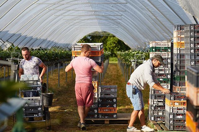 It's a hive of activity on the fields as we continue our busy season in to September 🍓September is a great month for strawberries so do not fear, summer isn't over yet!! And we also have lots of delicious raspberries on their way so watch this space 🥳 . . . . #hughlowefarms #farmers #growers #farm#agriculture #knowyourfarmer #localproduce #buylocal #healthy #kent #freshproduce #instapic #instadaily #farmlife #nutritious #countrysideliving #strawberries #berries #raspberries #premium #blackberries #health #nutrition #harvest #buybritish #british