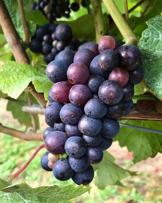🍇Pinot Meunier🍇 Not long until we start picking 👏🍾!! . . . . . . #hughlowefarms #farmers #growers #farm#agriculture #knowyourfarmer #localproduce #buylocal #healthy #kent #freshproduce #instapic #instadaily #farmlife #countrysideliving #vineyard #viticulture #grapes #wine #sparklingwine #chapeldown #englishwine #pinotmeunier