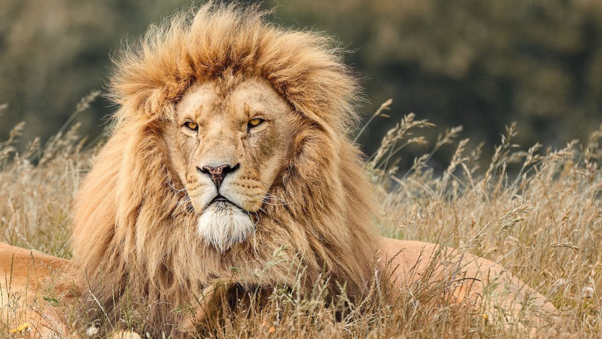 lions den wide.png