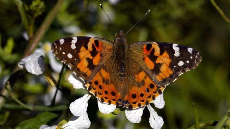 A painted lady opens its wings to reveal its characteristic pattern. They are a particularly tough species, able to flourish even when other insect populations are in decline. // Image by Ifran Khan for Los Angeles Times.