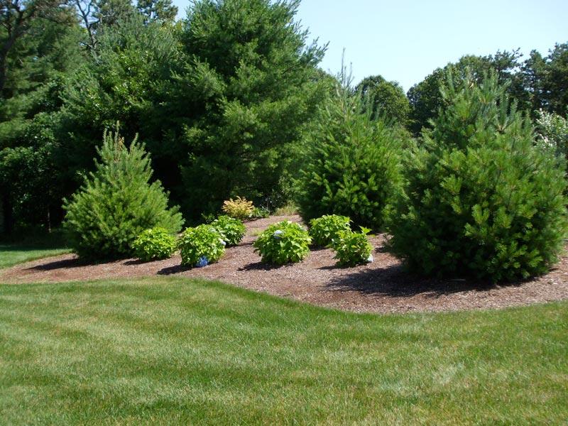 White-Pine-_-Hydrangea---Osterville,-MA.jpg