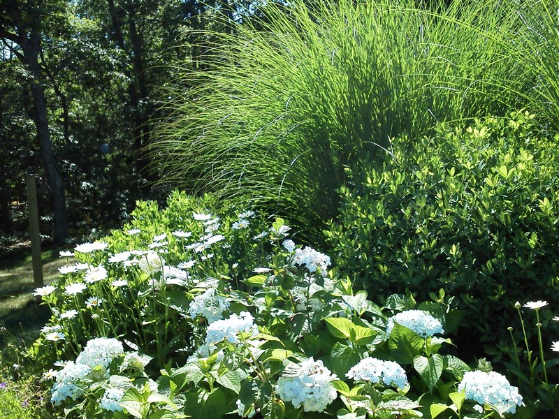 Hydrangea,-Baptisia,-Miscanthus-Grass---Orleans,-MA.jpg