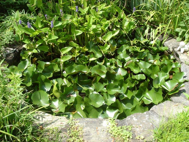 Lily-Pond---Grafton,-MA.jpg