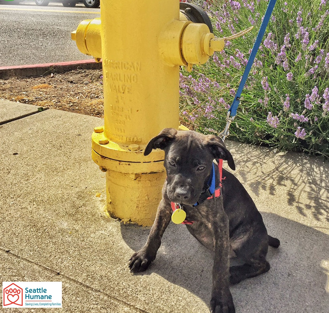 Saxon Biehl-LeonardCNO - The Canine Napping Optimizer was born oustide of Seattle and adopted by Heidi Biehl from the Seattle Humane Society. He is a Plott hound and Lab mix. Saxon enjoys short walks and is in the process of house training.Bellevue Humane Society