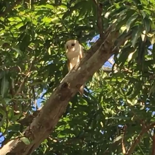 Spotted in Portmore, Jamaican Patoo 🦉 - #wise #jamaican #owl #animal #bird