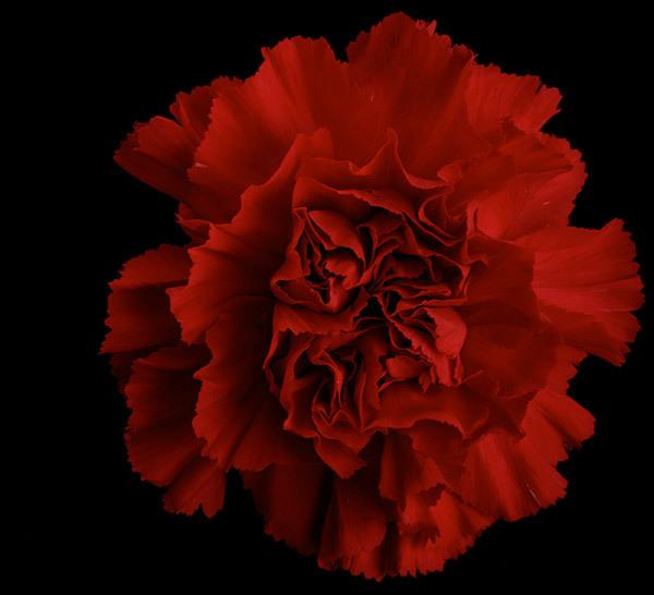 Red-Carnations-7.jpg