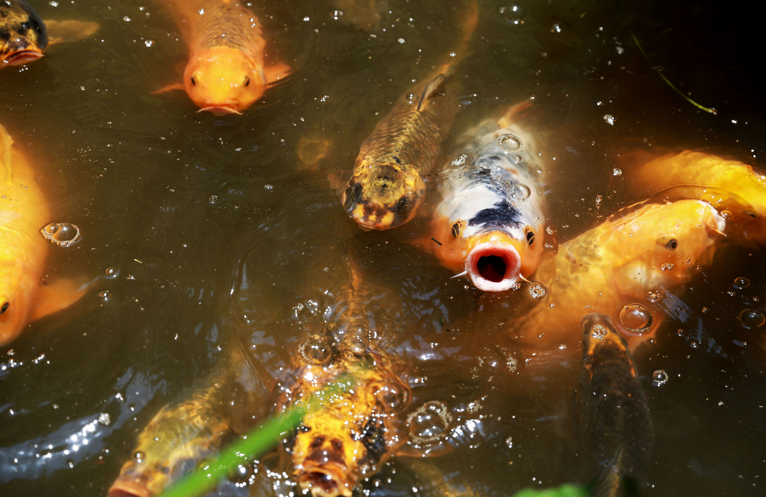 Koi fish swims in a pond at the Rakusui-en garden in Fukouka, Japan on June, 22, 2018.