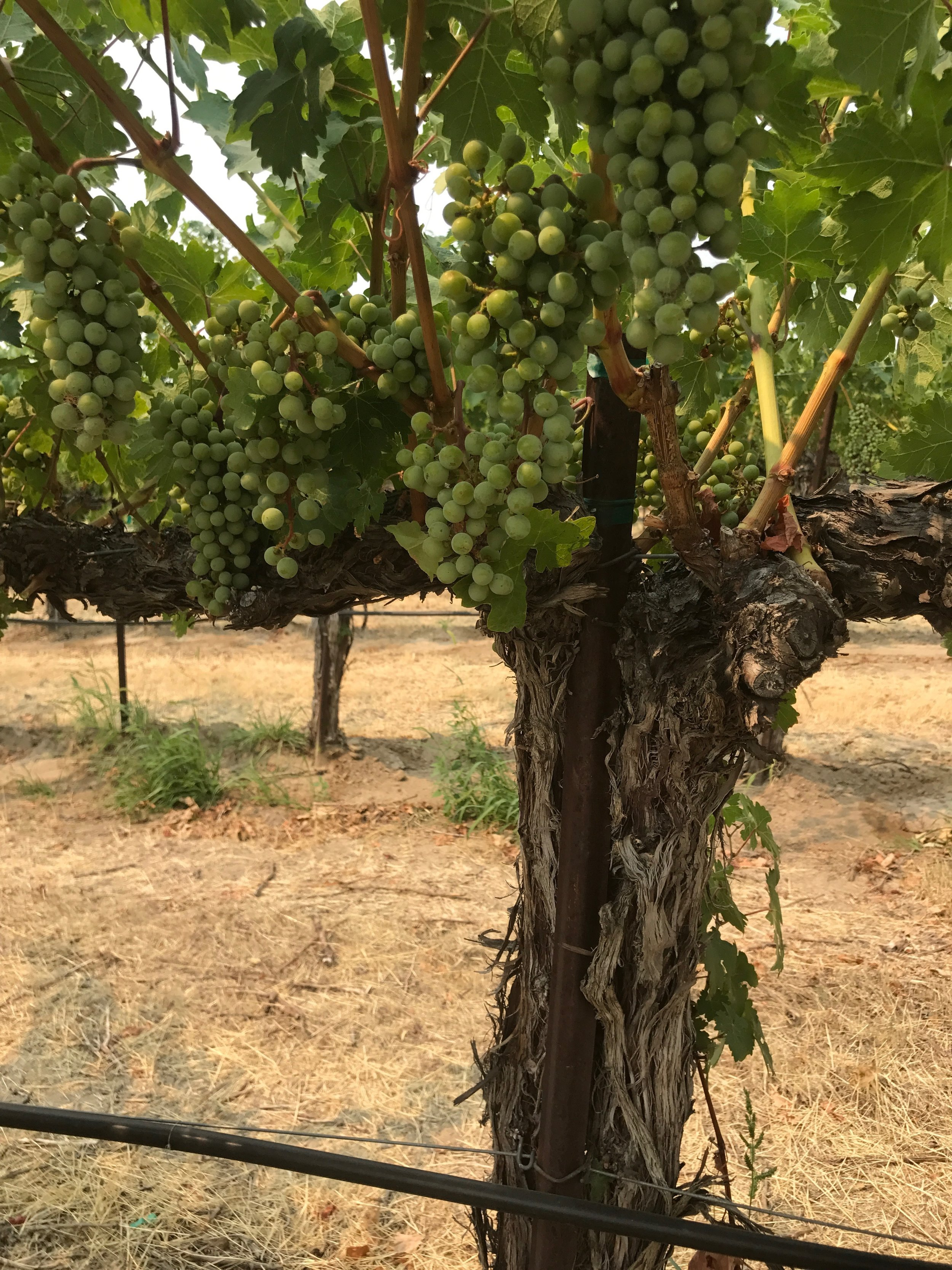 Weinbau Vineyard 1.JPG