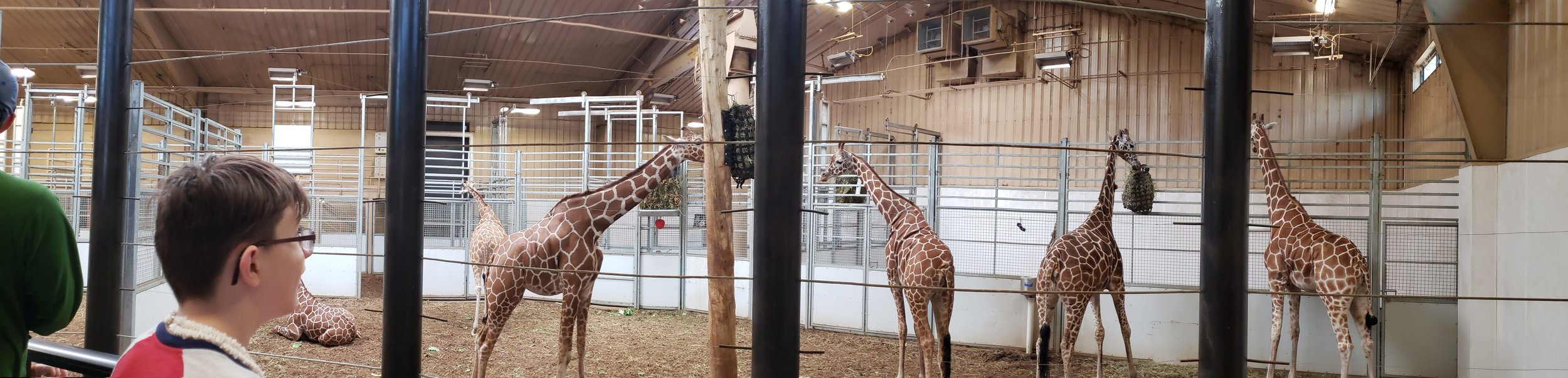 One of two large spaces for the giraffe herd.