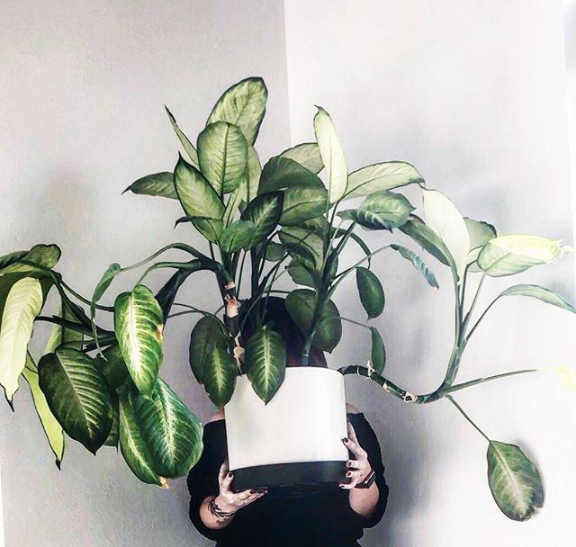 Sometimes the plants at work deserve a photo shoot🤗🌱😍 . . . . . . #dieffenbachia #girlswithplants #plantaddict #moreplantsplease #plantlove #plantlover #plantsmakepeoplehappy #plantlovers