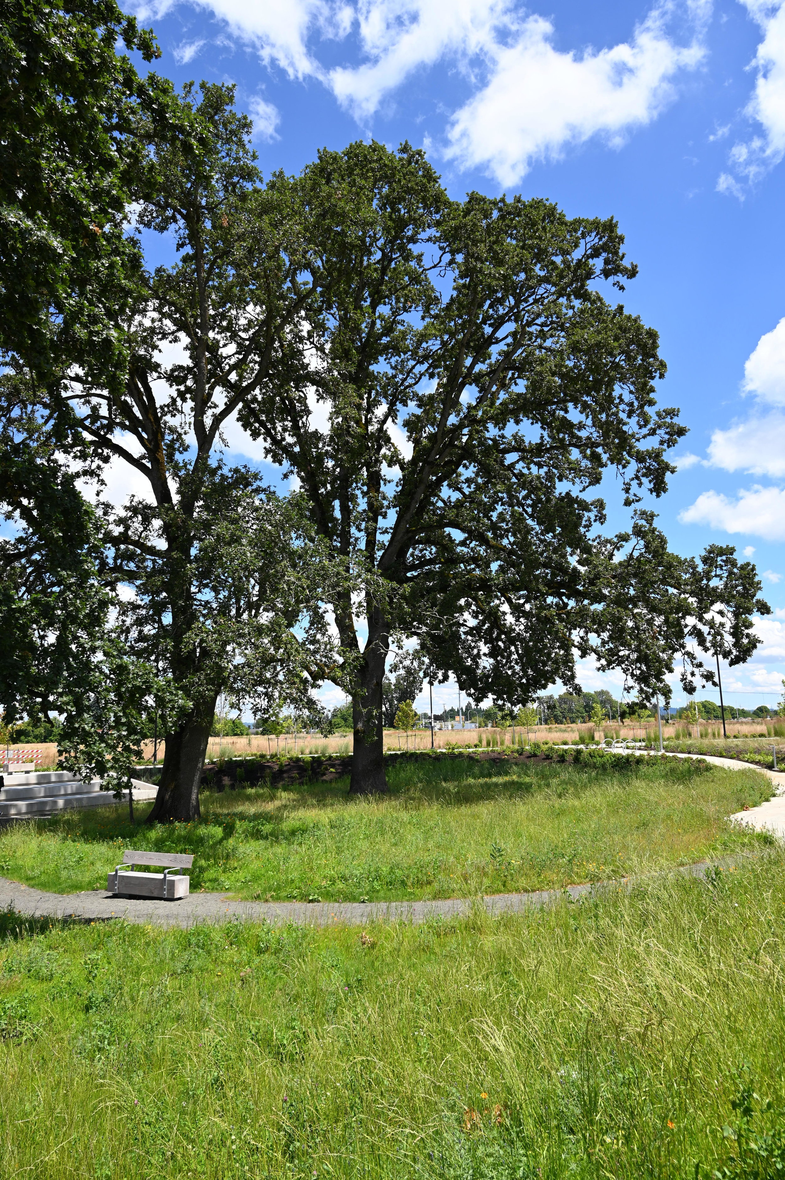 Oak trees in a meadow ringed by a trail with wooden benches on a sunny day