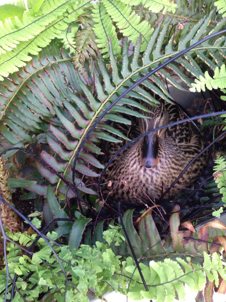 Mature mallard duck in verdant stormwater treatment basin