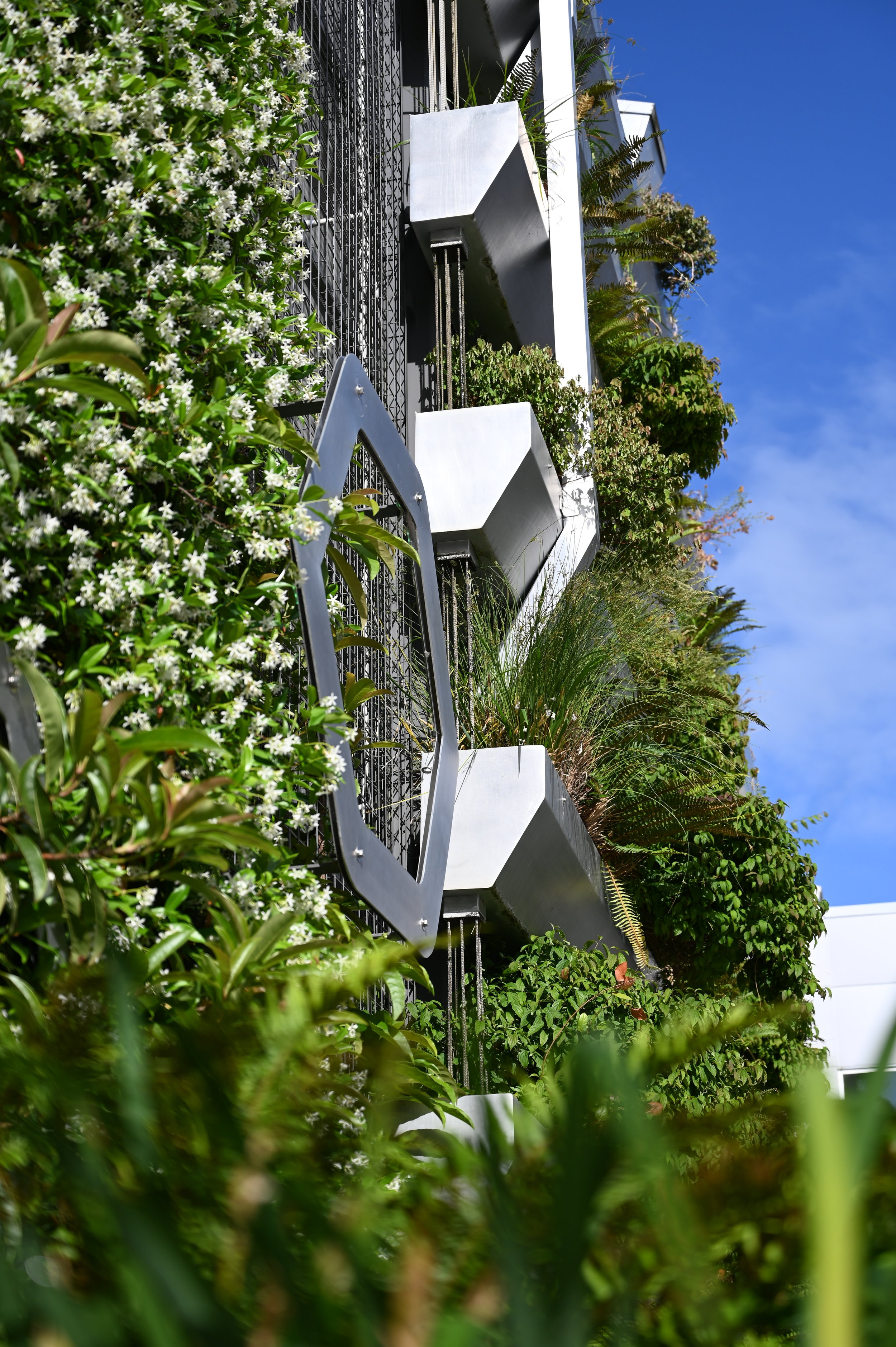 Mature sedges and star jasmine fill a metal structure on a sunny day