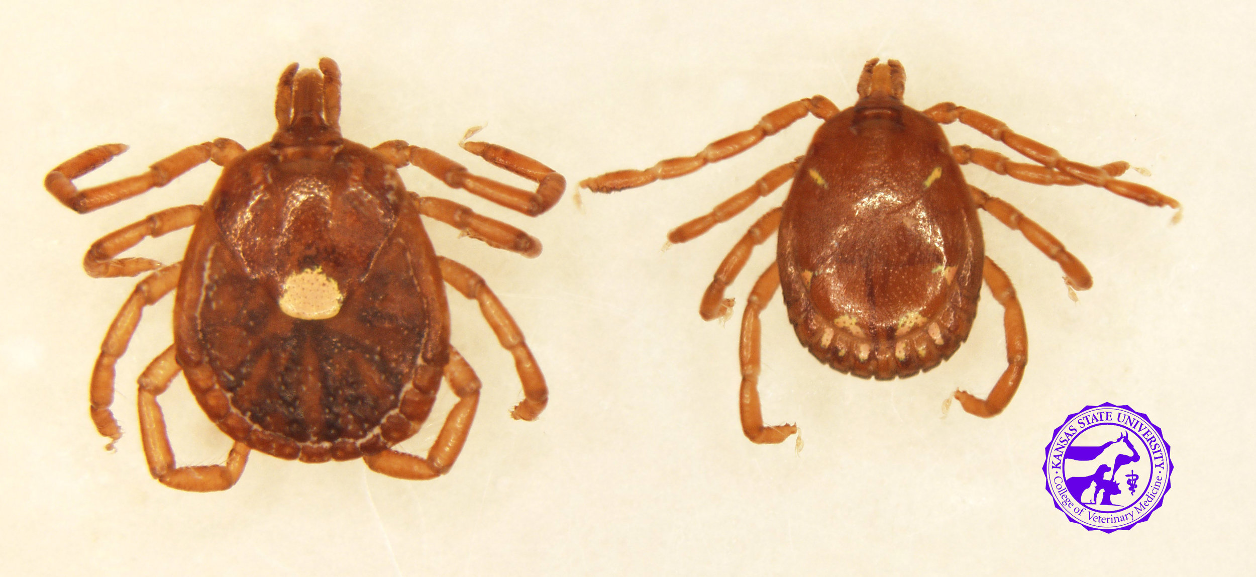 Lone Star Tick   Amblyomma americanum    Range - southern US, but expanding north   Active season - late spring, early summer   Disease transmission to horses-  none known   Disease transmission to humans-  ehrlichiosis; possibly Rocky Mountain Spotted Fever